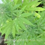 Powdery mildew cannabis