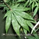 Powdery mildew marijuana
