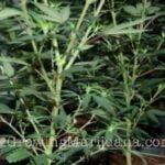 Prune marijuana plant