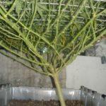 Pruned marijuana branches