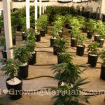 Small marijuana plants low temperature