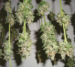 Drying cannabis kills pathogens