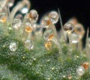 Water screening cannabis