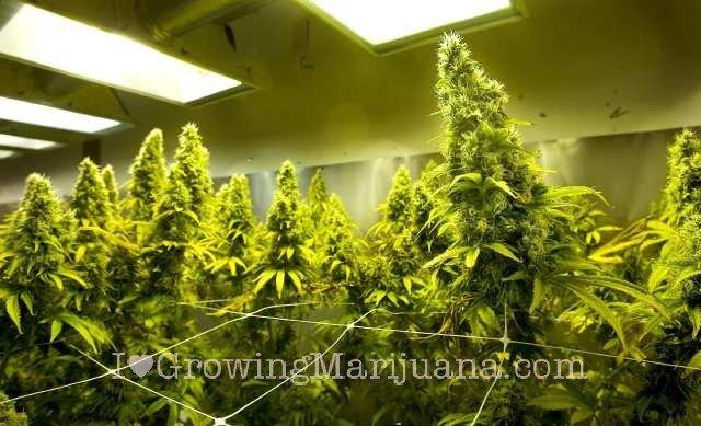 Growing medical marijuana indoors - Cannabis interior ...
