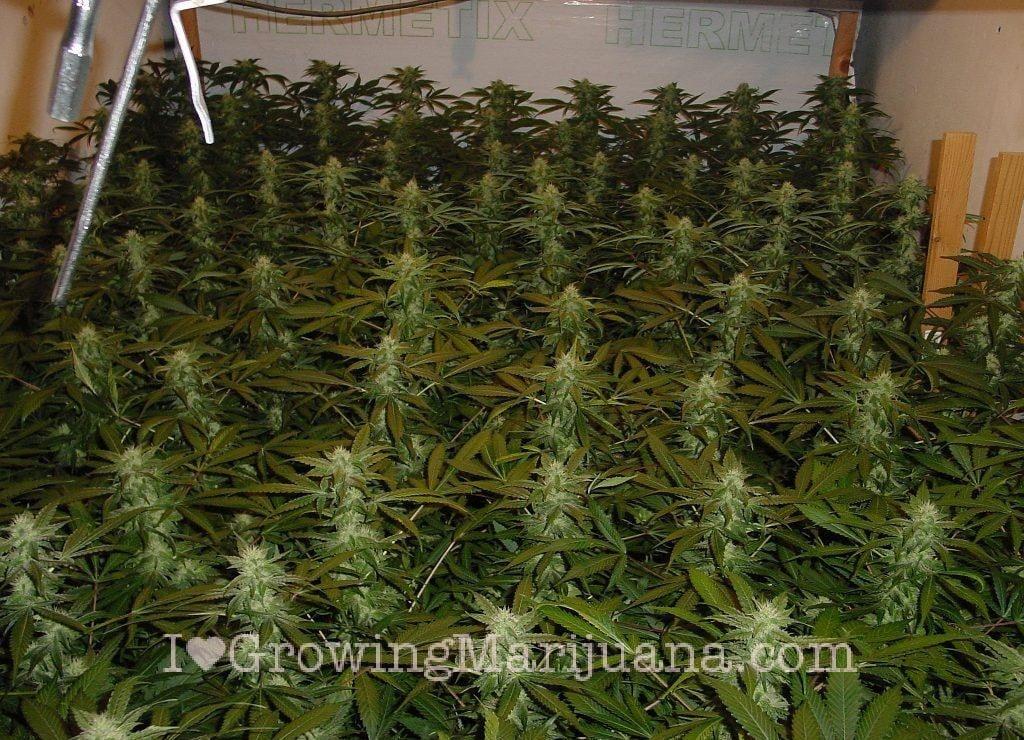 Fertilizantes qu come una planta de marihuana phoenix - Cannabis interior ...