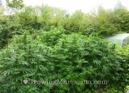 Cuánto Cannabis Produciré Por Planta  Phoenix