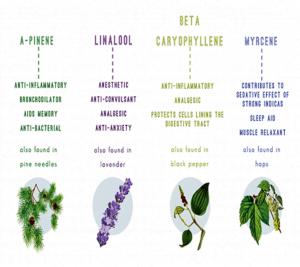 Terpenes in cannabis