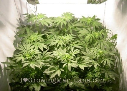 Los diferentes tipos de espacios de cultivo marihuana para el interior phoenix - Cannabis interior ...