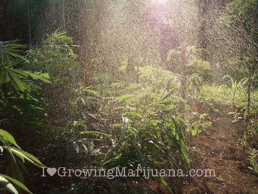 I love marihuana poda riego