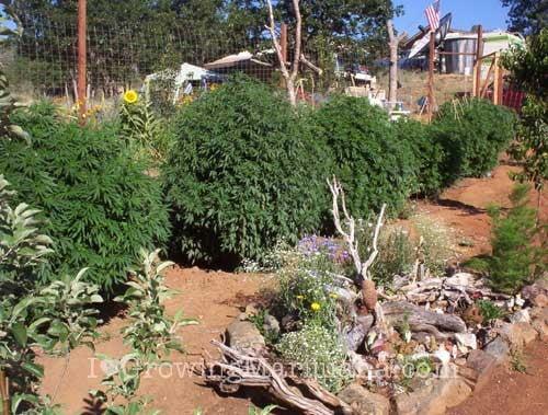 I love marihuana fertilizante