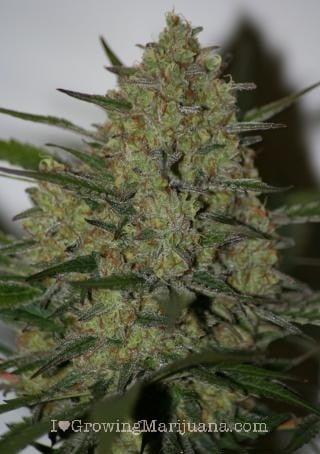 I love marihuana rendimiento elevado