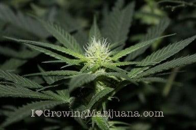 La limpieza y el mantenimiento cultivo marihuana for Cultivo interior marihuana
