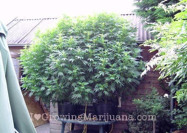 I love marihuana suel