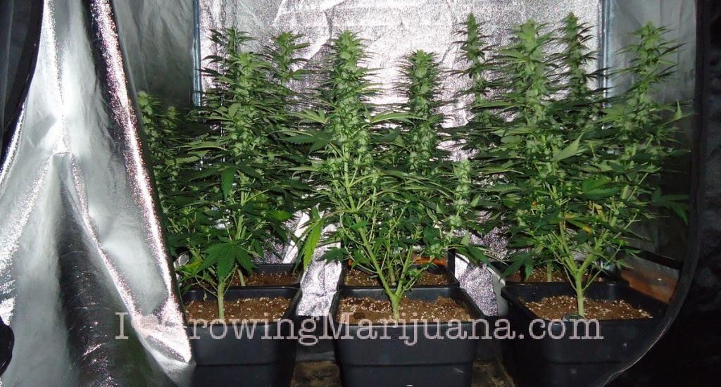 Marijuana Grow Journal Cheese 10 Oz Harvest