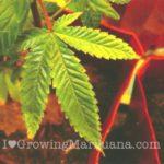 Cannabis deficiency potassium