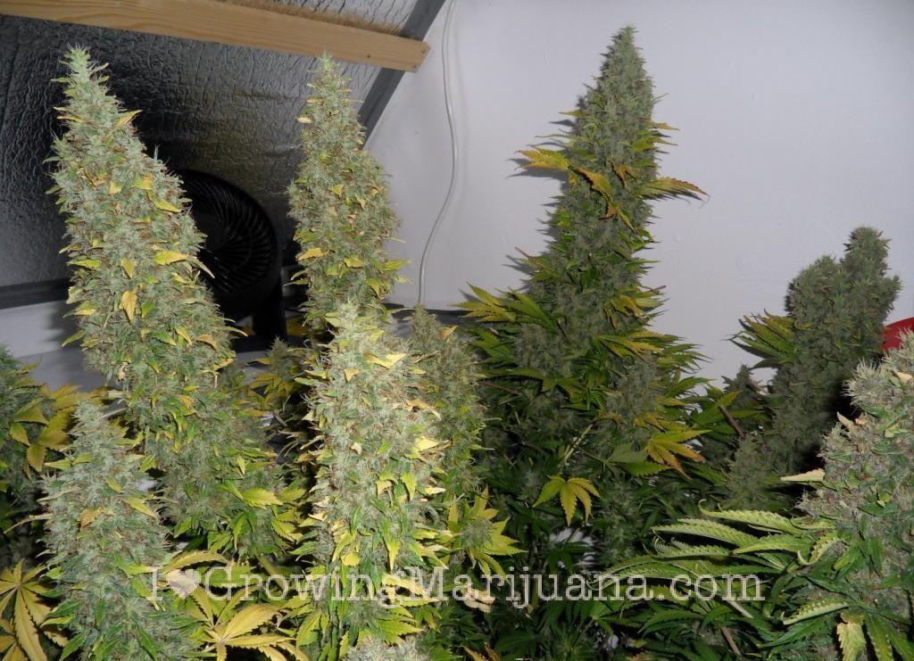 Marijuana Grow Journal 38oz Yield White Widow Fairy Tale