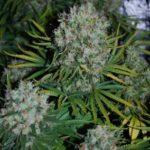 I love marijuana plants life cycle