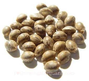 How to Recognize Quality Marijuana Seeds