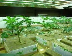 Cannabis dangers growing rockwool