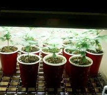 Cannabis seedlings how much light