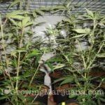 When to Scrog marijuana
