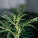 When to scrog marijuana tutorial