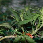 Marijuana scrog setup - 5 easy steps