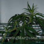 Marijuana scrog screen - 5 easy steps