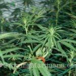 Marijuana scrog - 5 easy steps