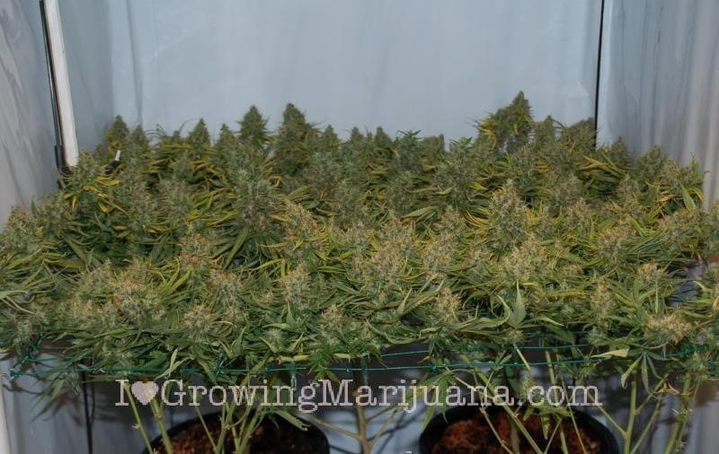 How to scrog marijuana plants