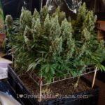 Scrogging cannabis in 5 easy steps