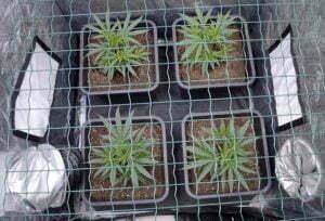 Scrogging creates bushy plants
