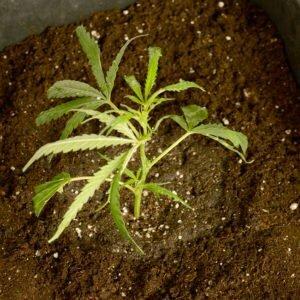 Watering scrog plants