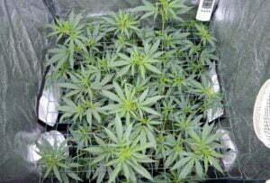 Why scrog weed