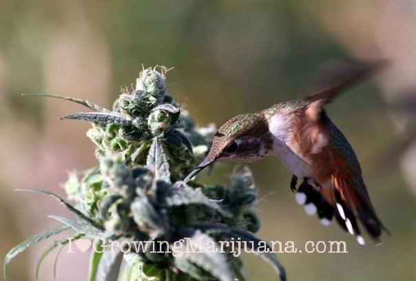 I love growing marijuana keep off pests