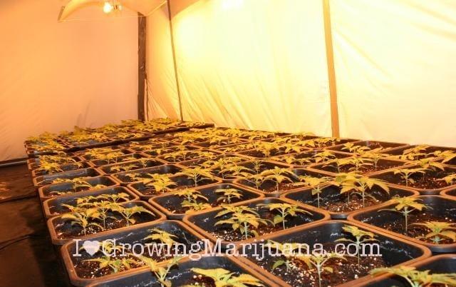 Chambre Culture Cannabis Serre de Cannabis Chambre