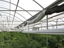 How force marijuana crop flower