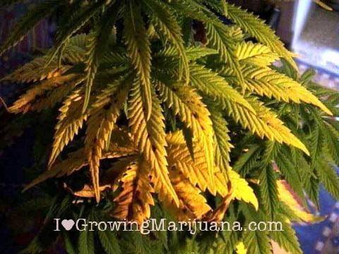 I love marihuana problemas nutricionales