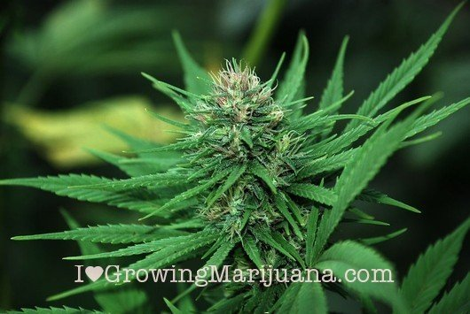 I love marihuana signos de cosecha