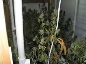 I love enfermedades de cannabis