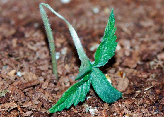 I love marihuana ahogamiento