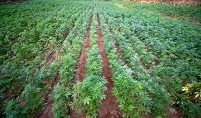 Re using cannabis soil