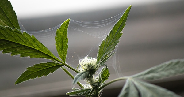 Spider Mites On Weed Plants