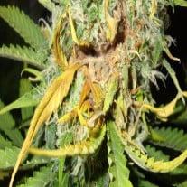 Diseases On Marijuana Plants
