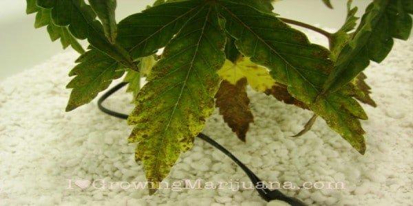 Marijuana plant symptoms