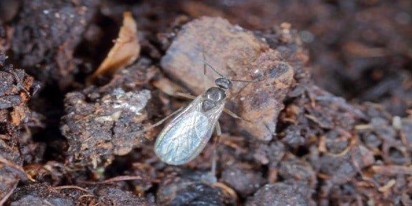 Treatment - fungus gnats on soil