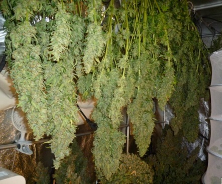 Grow Bigger Buds With The Best Nutrients