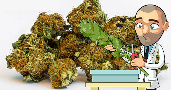 How Much Marijuana Can I Yield Per Plant? A Pound!