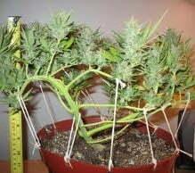 Cannabis plants trim or prune