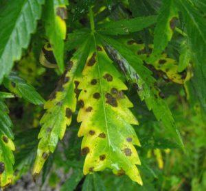 Signs of leaf septoria weed